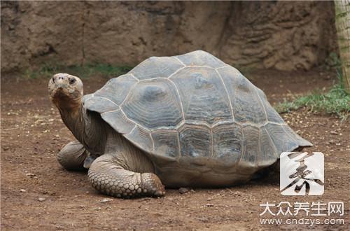 龟板的食用方法