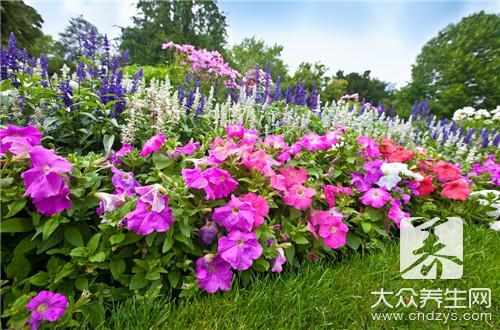 紫槐花的功效与作用有哪些?