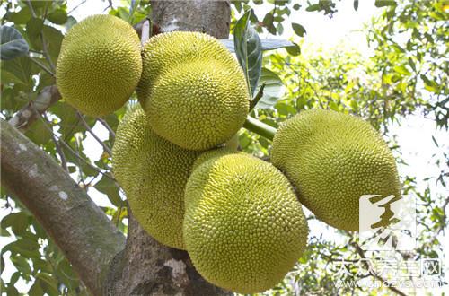 菠萝蜜的籽能吃吗?告诉你正确的吃法